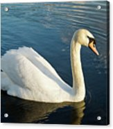 Swan Strutting Acrylic Print