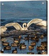 Swan Wings Reach Acrylic Print