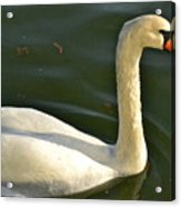 Swan Up Close Acrylic Print