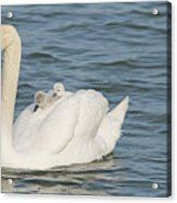 Mute Swan With Babies On Its Back Acrylic Print