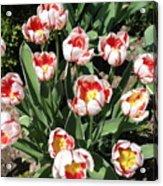 Swanhurst Tulips Acrylic Print
