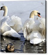 Swans And Duck Acrylic Print