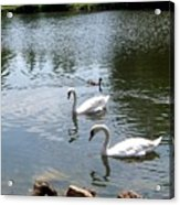 Swans And Ducks Acrylic Print