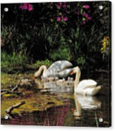 Swans And Signets Acrylic Print