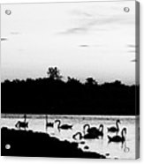 Swans At Sunset Acrylic Print
