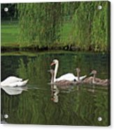 Swans At Two Months Acrylic Print