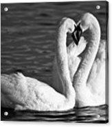 Swans Acrylic Print by Brandon Broderick
