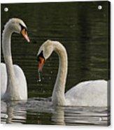 Swans Courtship Acrylic Print