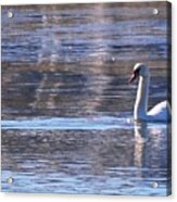 Swans In Winter Acrylic Print