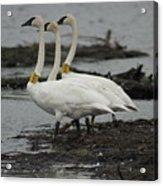 Swans Line Dancing Acrylic Print