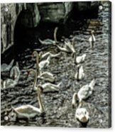 Swans On The Canal Acrylic Print