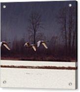 Swans Over The Marsh Acrylic Print