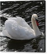 Swans Reflection Acrylic Print