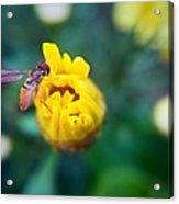 Sweet Bee Acrylic Print