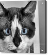 Sweet Blue Eyes Acrylic Print