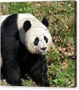 Sweet Chinese Panda Bear Sitting Down In Grass Acrylic Print
