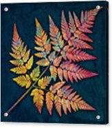 Sweet Cicely Acrylic Print