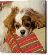 Sweet Dog Face Acrylic Print
