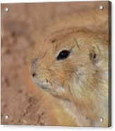 Sweet Face Of A Prairie Dog Up Close And Personal Acrylic Print