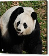 Sweet Faced Chinese Giant Panda Bear Sitting Down Acrylic Print