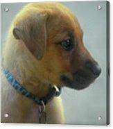 Sweet Faced Cunucu Puppy In Aruba Acrylic Print