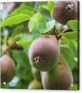 Sweet Fruit Acrylic Print