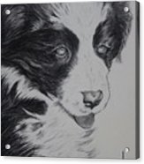 Sweet Girl Border Collie Puppy Acrylic Print