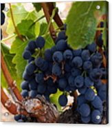 Sweet Grapes Acrylic Print