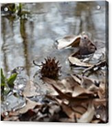 Sweet Gum Seed Pod In Mississippi Winter Acrylic Print