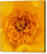 Sweet Heart Of Yellow Rose Acrylic Print