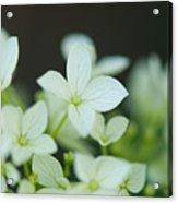 Sweet Hydrangea Acrylic Print