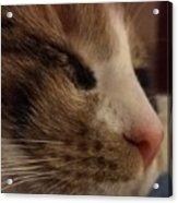 Sweet Kitten Acrylic Print