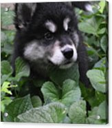 Sweet Markings On The Face Of An Alusky Puppy Dog Acrylic Print