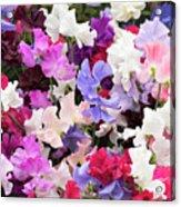 Sweet Pea Spencer Flowers Acrylic Print