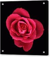 Sweet Pink Rose Acrylic Print