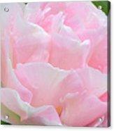 Sweet Pink Tulip Acrylic Print