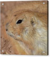Sweet Profile Of A Prairie Dog Playing In Dirt Acrylic Print