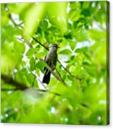 Sweet Song Mother Bird Acrylic Print