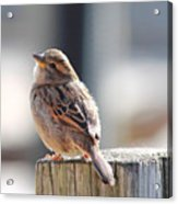 Sweet Sparrow Acrylic Print
