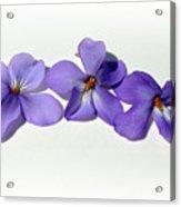 Sweet Violet Acrylic Print