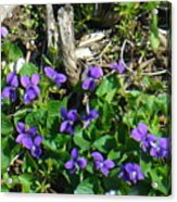 Sweet Violets Acrylic Print