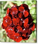 Sweet William Macro Acrylic Print
