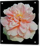 Sweetheart Rose Acrylic Print