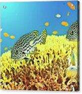 Sweetlips Acrylic Print