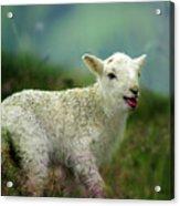 Swet Little Lamb Acrylic Print