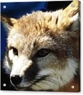 Swift Fox With Oil Painting Effect Acrylic Print