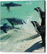 Swim Race - African Penquins Acrylic Print