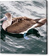 Swimming Booby Acrylic Print