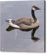 Swimming Canada Goose Acrylic Print