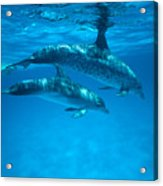 Swimming Dolphins Acrylic Print